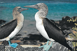 Two Blue-Footed Boobies
