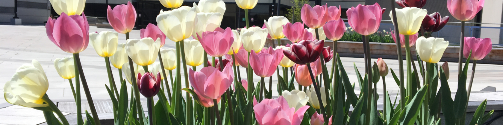 A close-up view of several tulips in bloom.