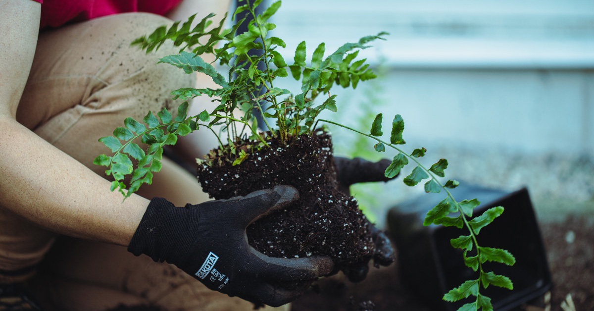 hands holding the soil and roots of fern plant in preparation of planting