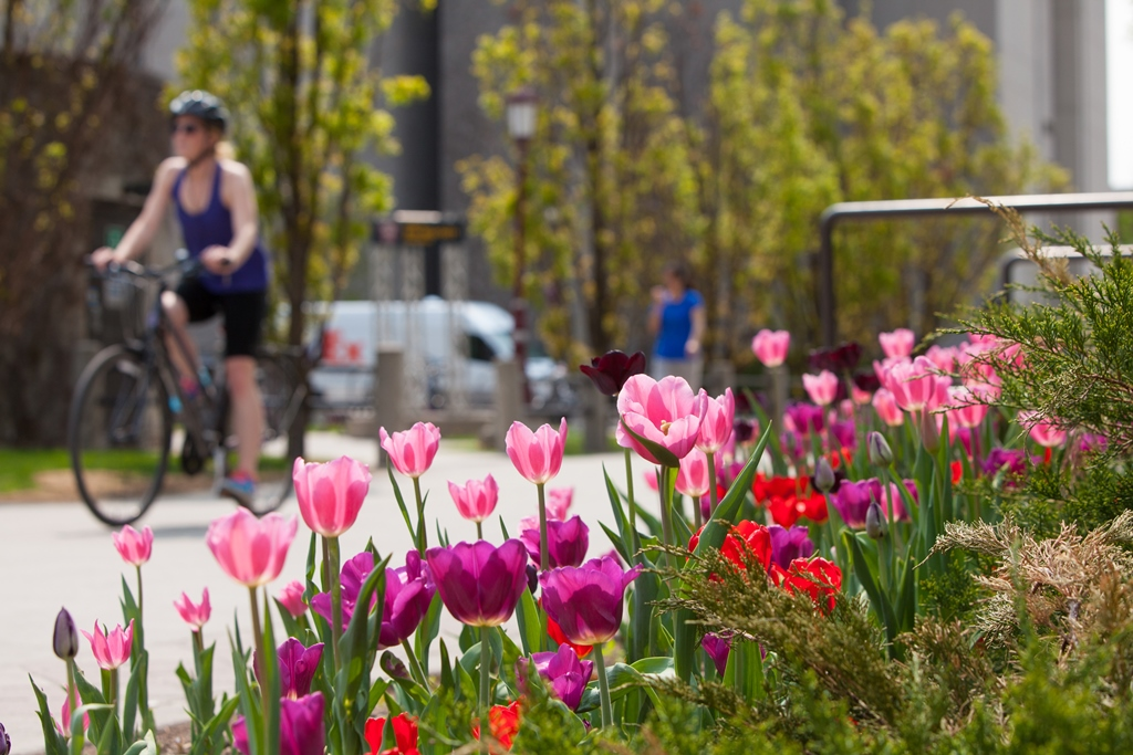 Girl cycling on campus sidewalk lined with tulips