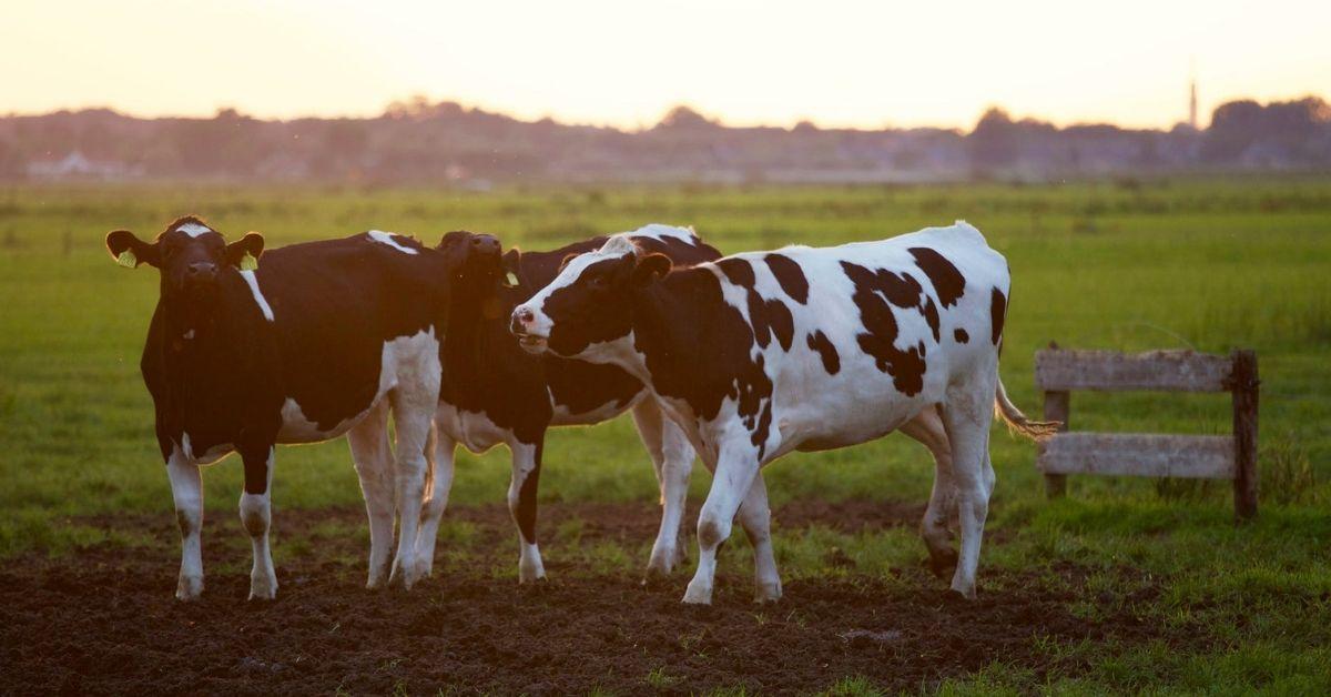 Trois vaches dans un champ