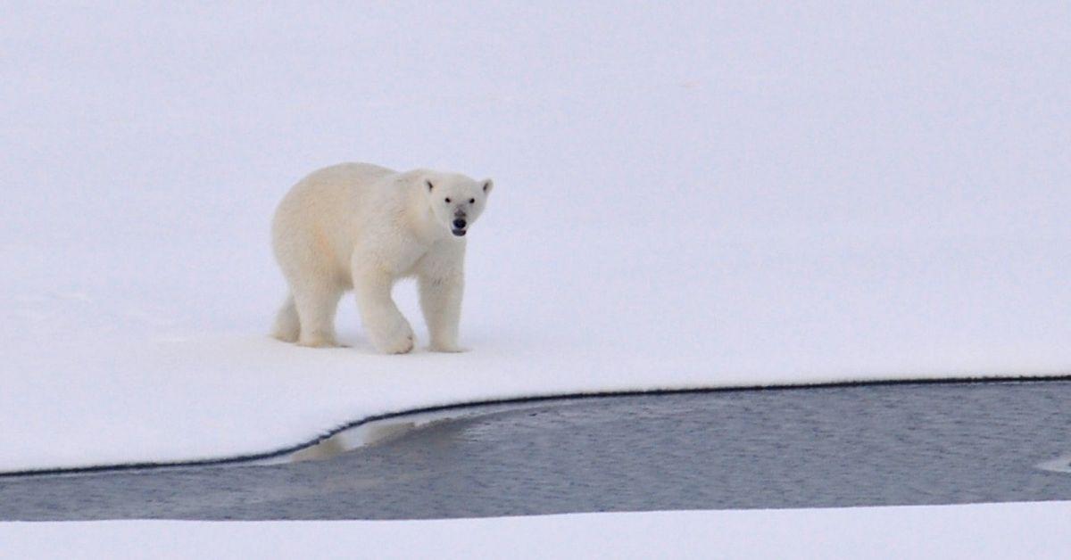 Un ours polaire marche sur la neige