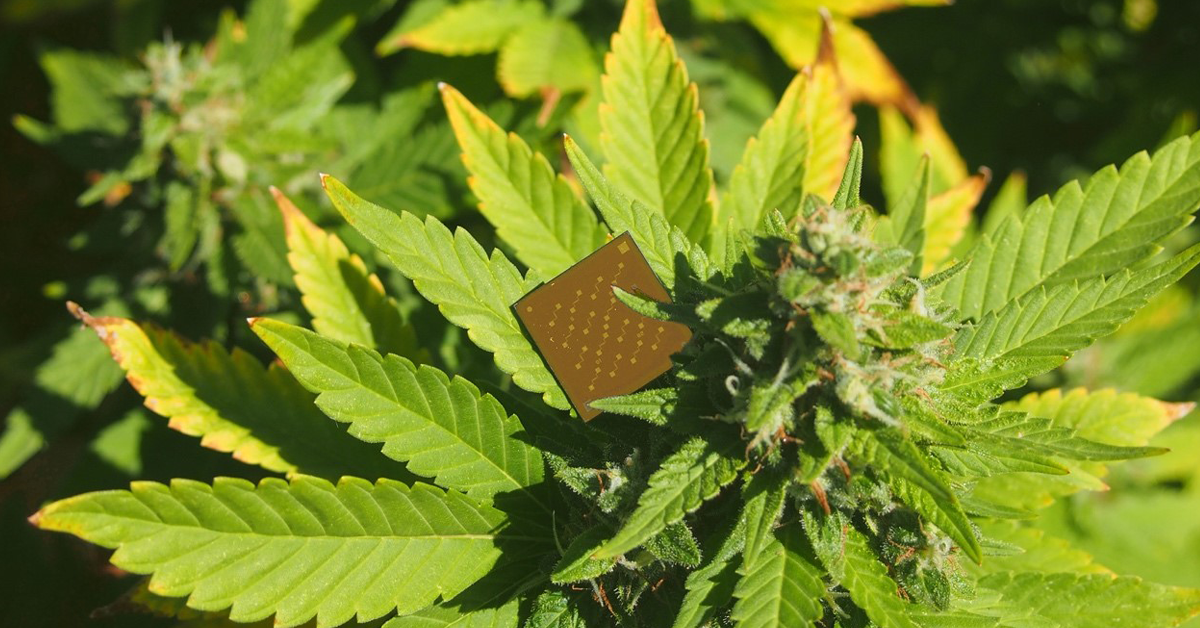 Device resembling a microchip resting on a cannabis plant