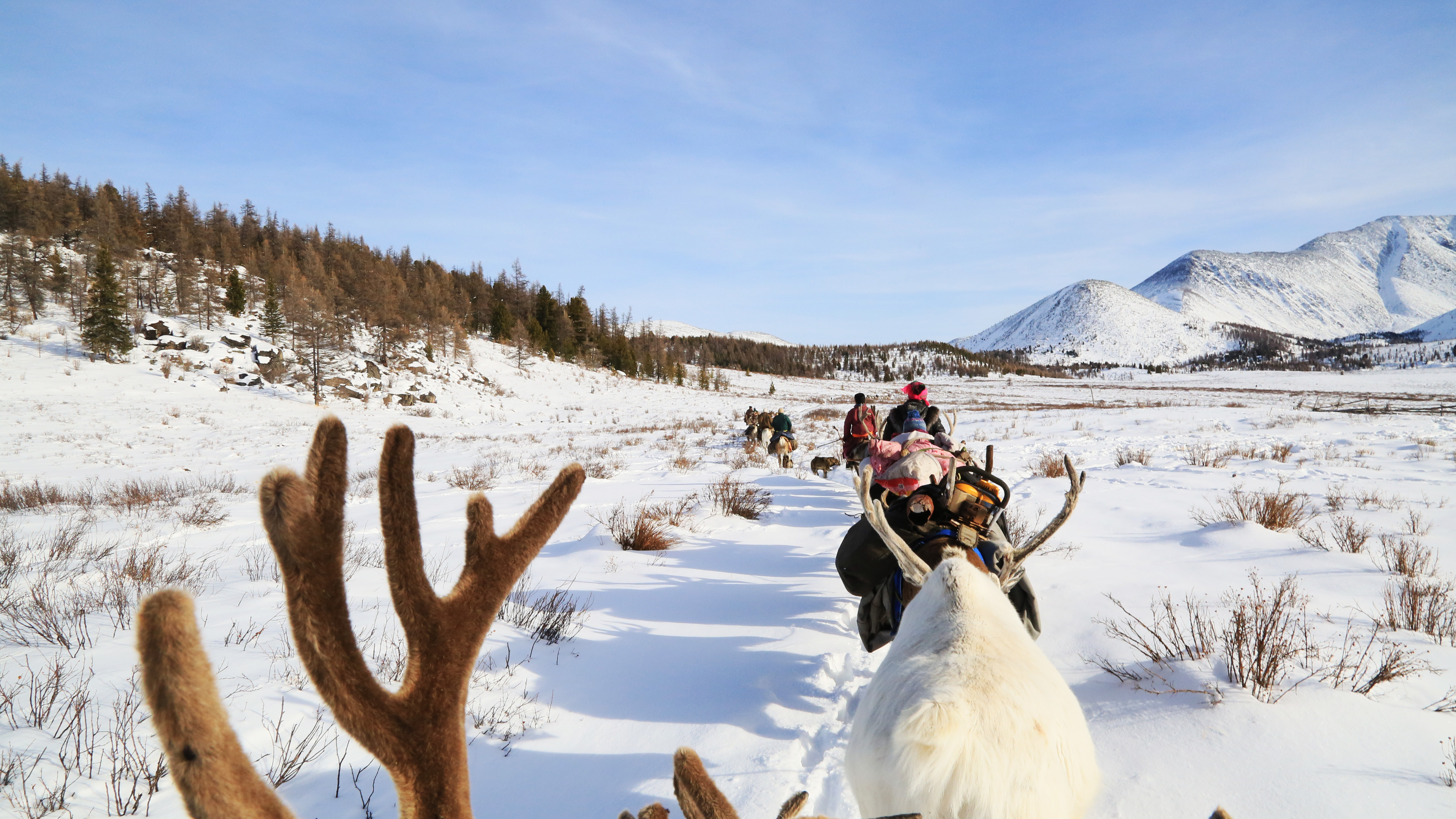 Line of reindeer migrating with the Dukha and their camp supplies.