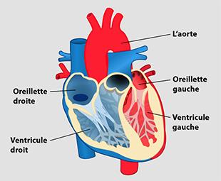 Diagramme de l'intérieur du cœur humain comprenant l'aorte, les oreillettes et les ventricules gauches et droits.