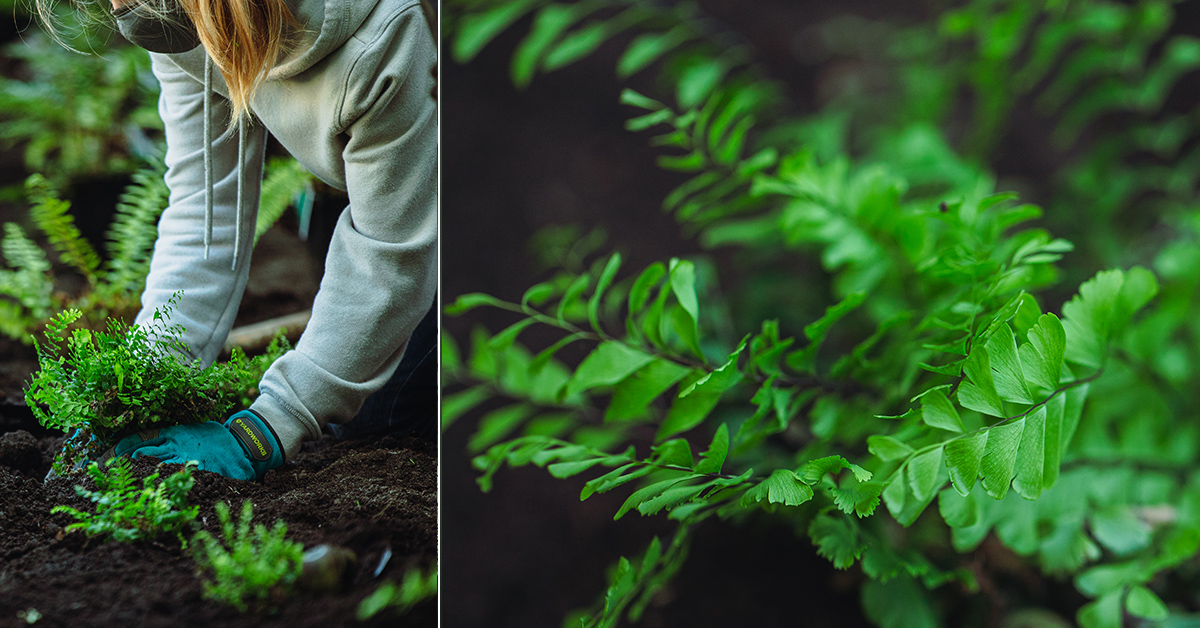 collage of blonde woman planting fern and close-up of the leaves of fern