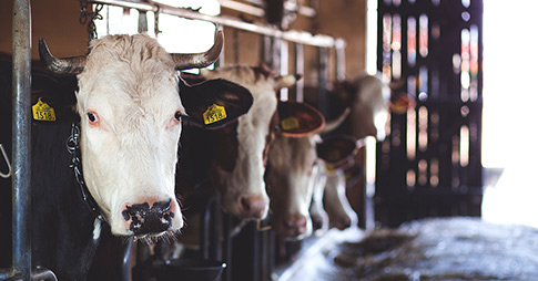 Des vaches dans une grange.