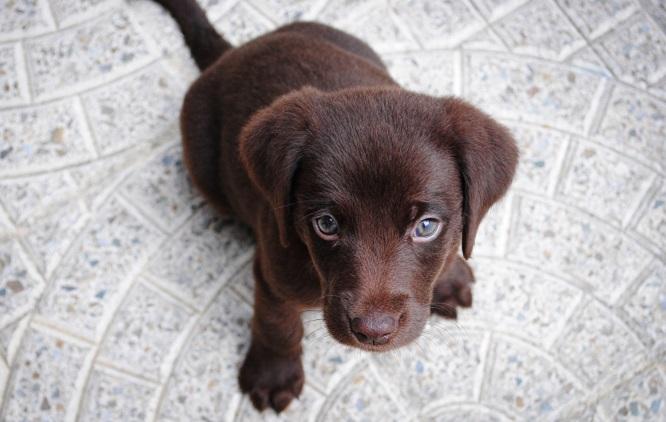 A puppy sitting on the floor gazes upward.