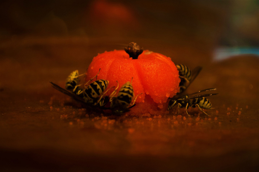 Several yellow jacket wasps feast on some fruit.