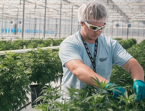 A worker wearing a hairnet and sunglasses tends marijuana plants in a greenhouse.