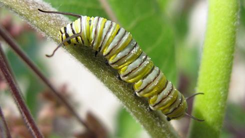 Une chenille à rayures sur la tige d'une plante.