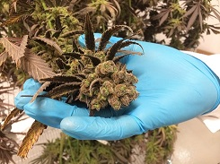Close up of marijuana buds held by a hand in a latex glove.