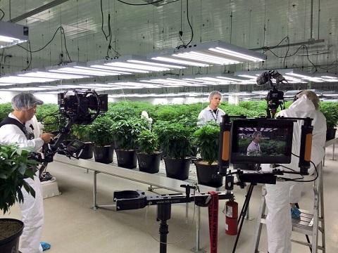 Television cameras film technicians amid rows of marijuana plants at Tweed Inc.